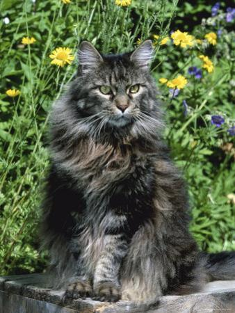 Domestic Cat, Maine Coon Breed, Maine, USA by Lynn M. Stone