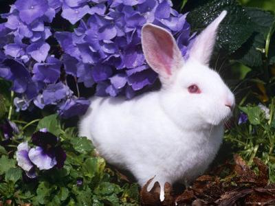 Domestic New Zealand Rabbit, Amongst Hydrangea, USA by Lynn M. Stone