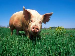 Domestic Pig Portrait, Yorkshire Breed by Lynn M. Stone