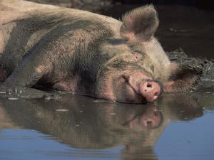 Domestic Pig Wallowing in Mud, USA by Lynn M. Stone