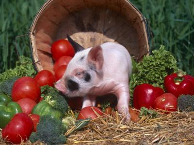Domestic Piglet, Amongst Vegetables, USA by Lynn M. Stone