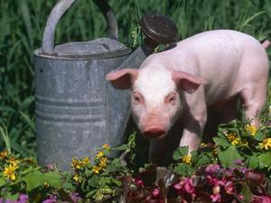 Domestic Piglet Beside Watering Can, USA by Lynn M. Stone