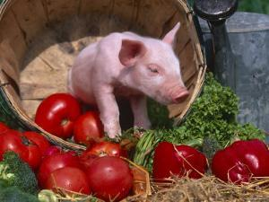 Domestic Piglet, in Bucket with Apples, Mixed Breed, USA by Lynn M. Stone