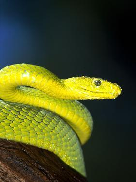 E African Mamba, Dendoaspis Angusticeps by Lynn M. Stone