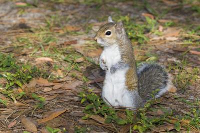 Eastern Gray Squirrel by Lynn M. Stone