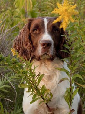 English Springer Spaniel in Field by Lynn M. Stone