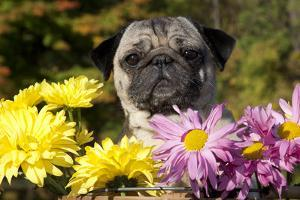 Female Pug in an Old Peach Basket with Chrysanthemums, Rockford, Illinois, USA by Lynn M. Stone