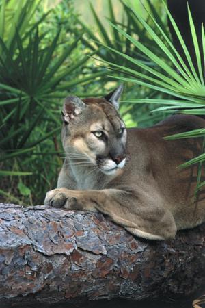 Florida Panther (Felis Concolor) on Fallen Pine Branch Among Saw Palmettos, South Florida, USA by Lynn M. Stone