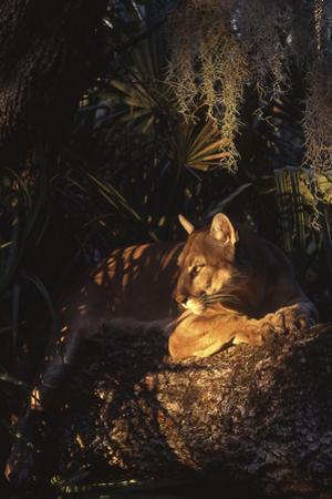 Florida Panther (Felis Concolor) by Lynn M. Stone