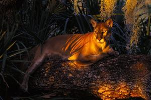 Florida Panther Lying on Huge Oak Limb Amid Spanish Moss in Late Afternoon Light, Southwest Florida by Lynn M. Stone