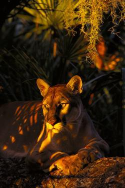 Florida Panther Lying on Oak Limb Underneath Spanish Moss and Backdrop of Palmetto by Lynn M. Stone
