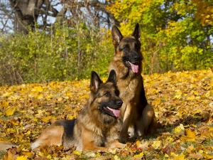German Shepherd Dog in Fall Color by Lynn M. Stone