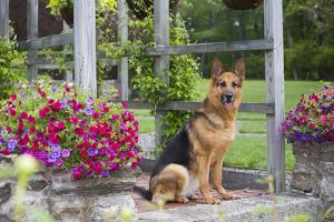 German Shepherd Dog in Late Spring Flowers, Garden, Woodstock, Connecticut, USA by Lynn M. Stone