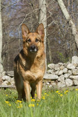 German Shepherd Dog Standing in Meadow of Dandelions with Stone Fence in Background by Lynn M. Stone
