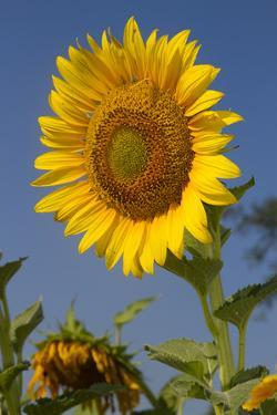 Giant Sunflower in Bloom, Pecatonica, Illinois, USA by Lynn M. Stone