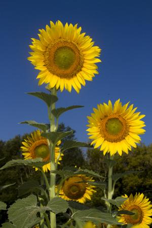 Giant Sunflowers in Bloom, Pecatonica, Illinois, USA
