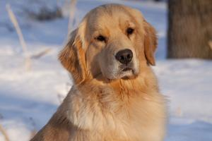 Golden Retriever, Female, Portrait, in Snow at Edge of Woods, Staughton, Wisconsin, USA by Lynn M. Stone