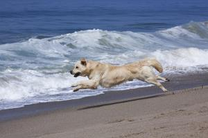 Golden Retriever Male Running Along Surf on Pacific Beach, Southern California, USA by Lynn M. Stone