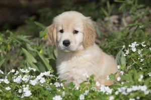 Golden Retriever Pup in Spring Wildflowers, Elburn, Illinois by Lynn M. Stone