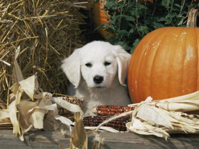Golden Retriever Puppy (Canis Familiaris) Portrait with Pumpkin by Lynn M. Stone