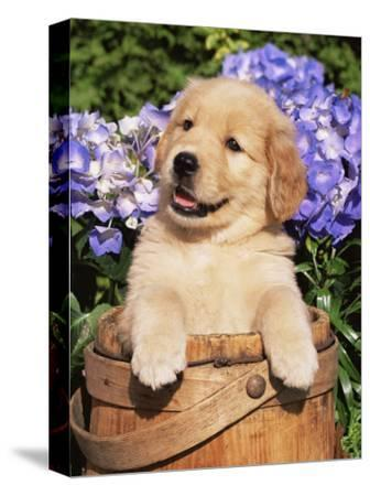 Golden Retriever Puppy in Bucket (Canis Familiaris) Illinois, USA by Lynn M. Stone