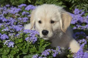 Golden Retriever Puppy (Male, 7 Weeks), La Fox, Illinois, USA by Lynn M. Stone