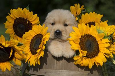 Golden Retriever Puppy by Lynn M. Stone