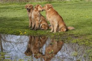 Golden Retrievers (Females and Male on Right) Sitting at Edge of Pool, St. Charles, Illinois, USA by Lynn M. Stone