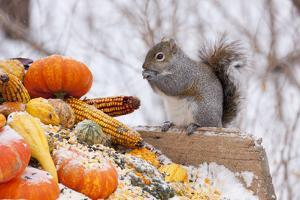 Gray Squirrel in Mid-Winter Feeding on Corn Kernels Among Gourds, St. Charles, Illinois, USA by Lynn M. Stone