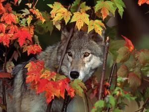 Gray Wolf Peeking Through Leaves by Lynn M. Stone