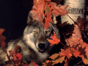 Gray Wolf Peeks Through Leaves, Canis Lupus by Lynn M. Stone