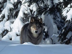 Gray Wolf Standing in Snow Covered Landscape by Lynn M. Stone