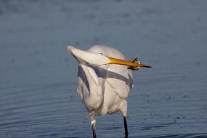Great Egret (Ardea Alba) by Lynn M. Stone