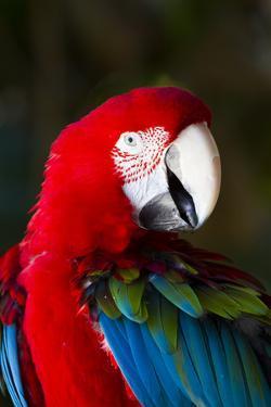 Green-Winged Macaw (Ara Chloropterus) by Lynn M. Stone