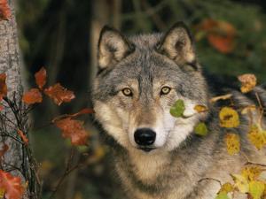 Grey Wolf Portrait, USA by Lynn M^ Stone
