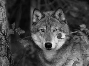 Grey Wolf Portrait, USA by Lynn M. Stone