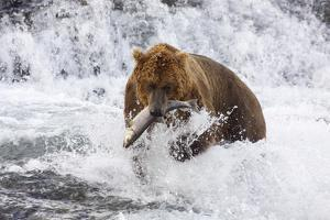 Grizzly Bear (Ursus Arctos) with Salmon in Mcneil River, Alaska, USA by Lynn M. Stone