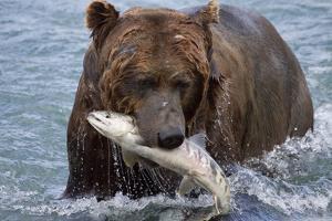 Grizzly Bear (Ursus Arctos) by Lynn M. Stone