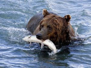 Grizzly Bear with Salmon by Lynn M. Stone