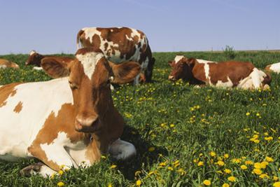 Guernsey Cows in Dandelion-Studded Pasture, Dekalb, Illinois, USA