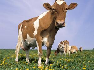 Guernsey Cows in Field of Dandelions, IL by Lynn M. Stone