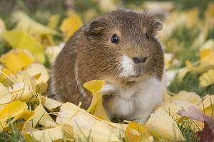 Guinea Pig on Gourds in Grass, Higganum, Connecticut, USA by Lynn M. Stone