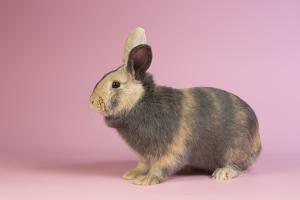 Harlequin Rabbit by Lynn M. Stone