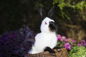 Himalayan Rabbit by Lynn M. Stone