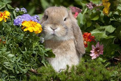 Holland Lop Rabbit on Club Moss Among Flowers, Torrington, Connecticut, USA by Lynn M. Stone
