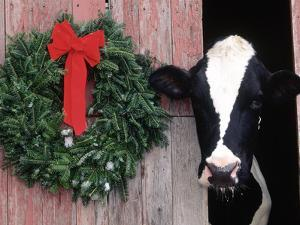 Holstein Cow in Barn with Christmas Wreath, WI by Lynn M. Stone