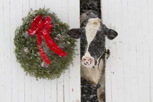 Holstein Cow in Snowstorm by Green Wreath and Red Ribbon, St. Charles, Illinois, USA by Lynn M. Stone