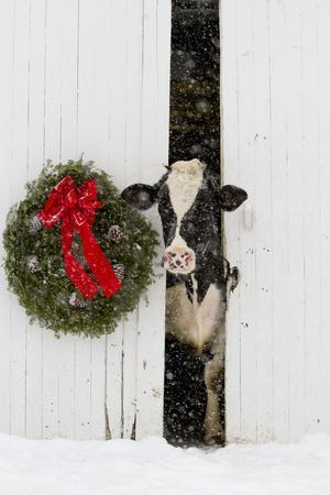 Holstein Cow in Snowstorm by Green Wreath and Red Ribbon, St. Charles, Illinois, USA