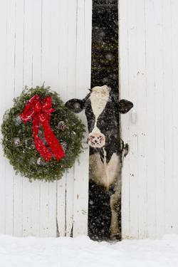 Holstein Cow in Snowstorm by Green Wreath and Red Ribbon, St. Charles, Illinois, USA by Lynn M^ Stone
