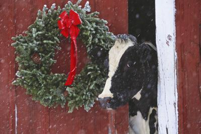 Holstein Cow Portrait with Wreath in Falling Snow, Marengo, Illinois